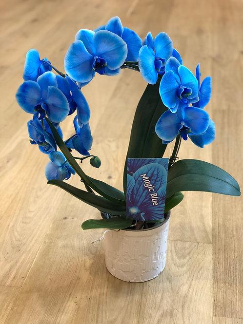 Blå runde orkidee med potte
