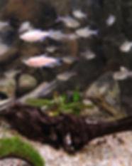 ferskvandsfisk med logo 48.jpg