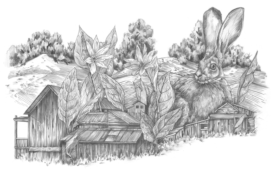Hare at Bodie