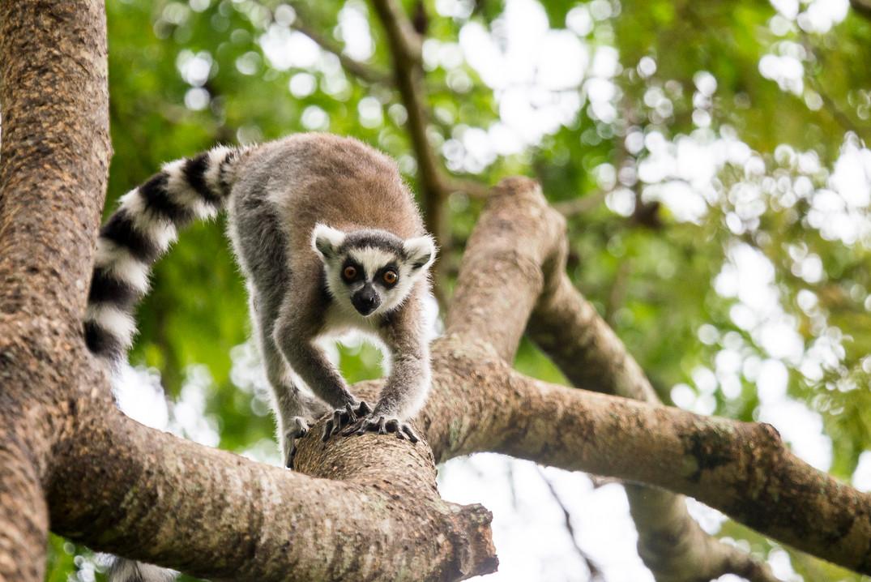 Katta Lemur