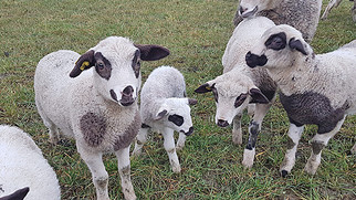 Schaf aus Weide gestohlen