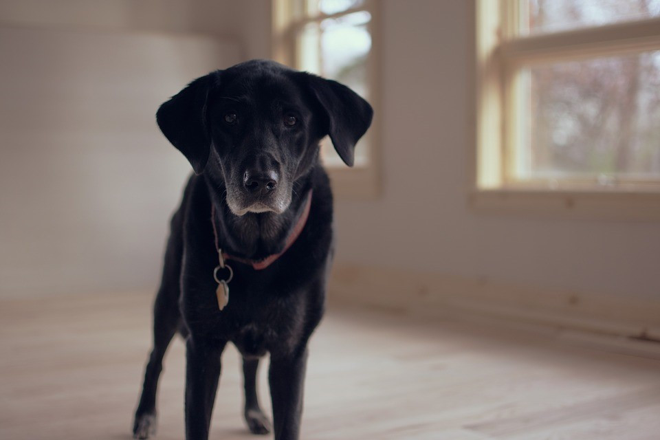 (Image Source: https://pixabay.com/en/senior-dog-labrador-retriever-senior-1149760/)