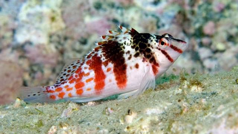 Spotted Coral Hawkfish