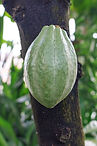 Cacao pic .jpg