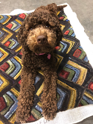 Wool model...Jelly, Lagotto Romagnolo