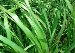 Argintine Bahia  Sod for sale Fort Myers, Cape Coral