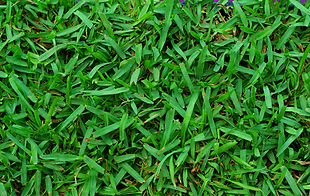 St Augustine Floritam Sod for sale Fort Myers, Cape Coral