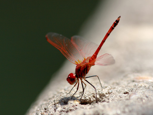 I Storbritannien ökar mängden vattenlevande insekter