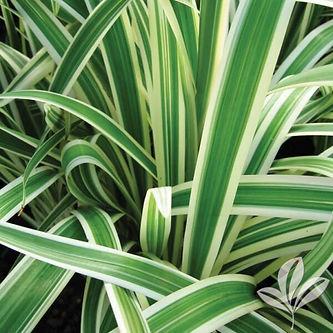 flaxlily.jpg