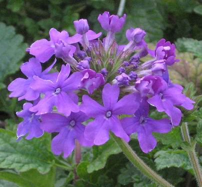 purpleverbena.jpg