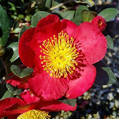 camelliayuletide.jpg