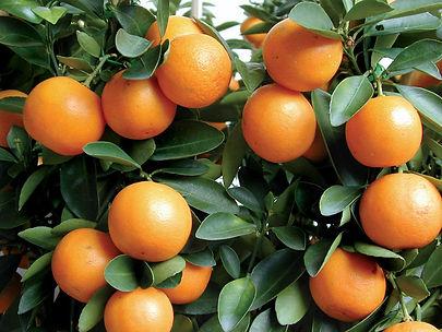 sweetkumquat.jpg