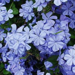 blueplumbago.jpg
