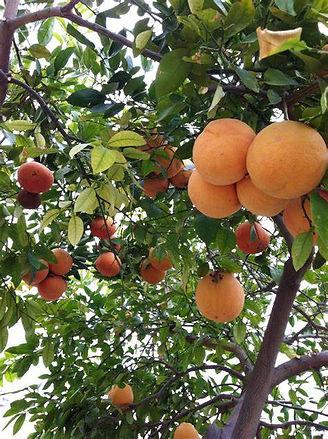 redgrapefruit.jpg