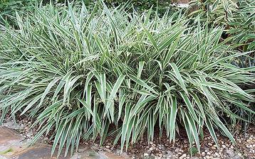 flaxlilyplant.jpg