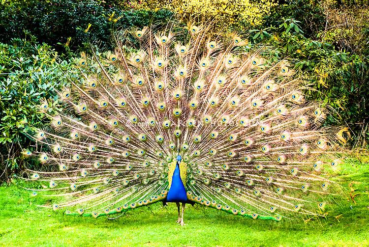 Peacock-32518.jpg