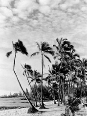 Hawaii Dreaming Trees