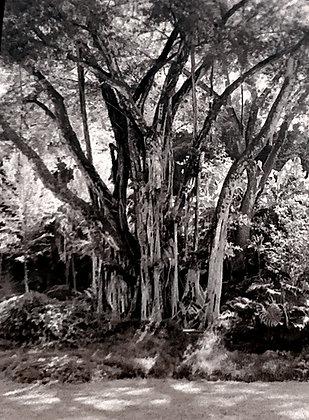 Lage Hawaii Tree