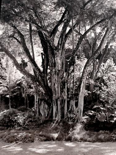 Large Hawaii Tree