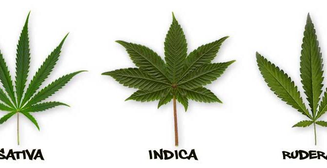 Diferencia ente Sativa e Indica