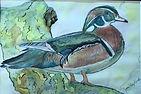 Wood Duck for Splash.jpg