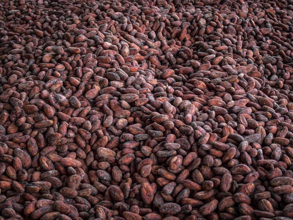 Fèves de cacao au séchage