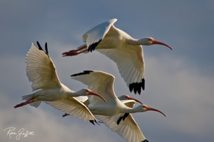 Ibis--Heading North
