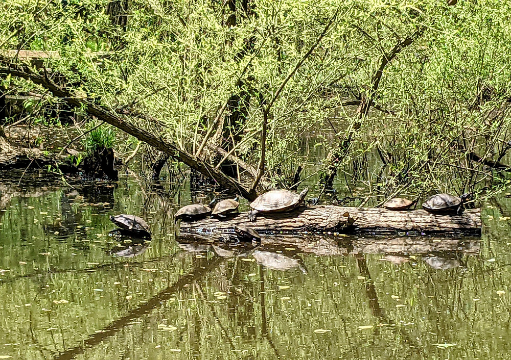 Eastern River Cooters sunning themselves in a pond along the greenway.