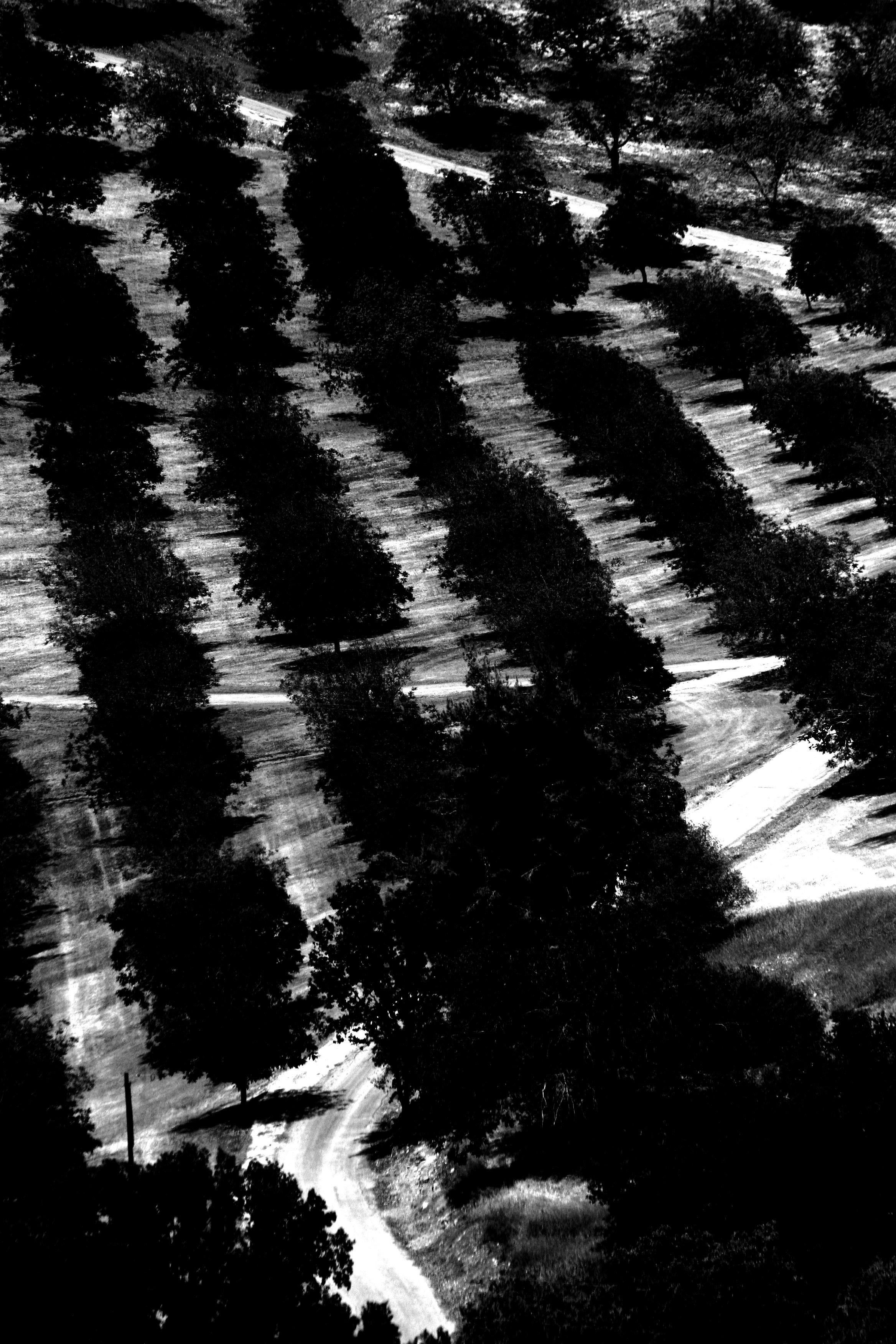 trees in black