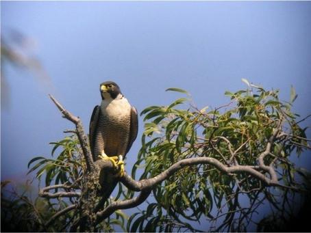 Falcons nesting at Mitre Rock, Mt Arapiles