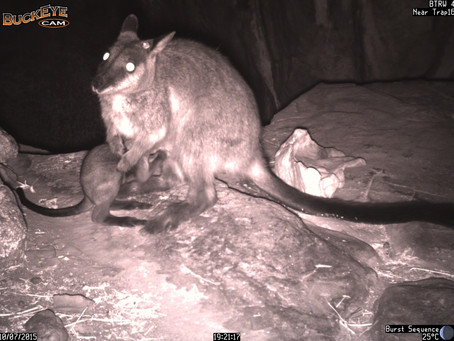 Access Report Dec 2015-Part 2. Brush Tailed Rock Wallaby Project