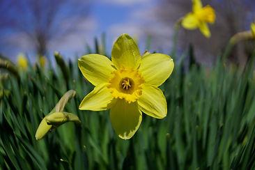 Daffodils2 Triptych.jpg