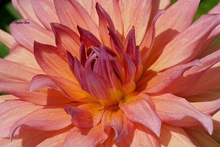 Purplish Dahlia 11x14 $65.JPG