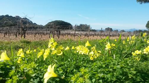 Les champs de fleurs et vignes du pays varois