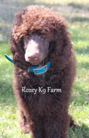 standard poodle breeder michigan