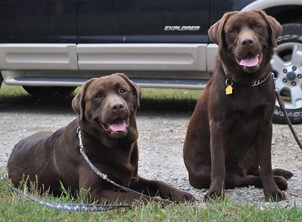 Labrador|Standard Poodle|Labradoodle|Puppies|Michigan|Rozey'sK9Farm