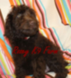 chocolate labradoodle puppie for sale