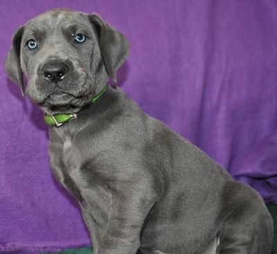 Blue great dane breeder
