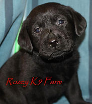 black lab puppies for sale