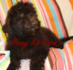 f1b labradoodle pups for sale in michigan