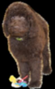 chcolate labradoodle puppies