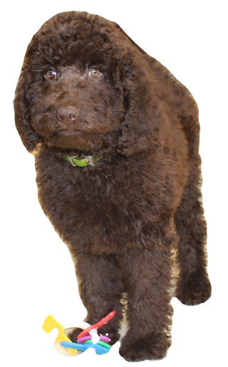 chcolate labradoodle puppies