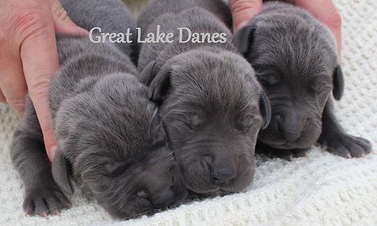 Great Dane puppies for sale in Michigan