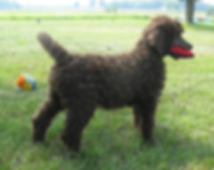 Standard poodle puppy playing with toy