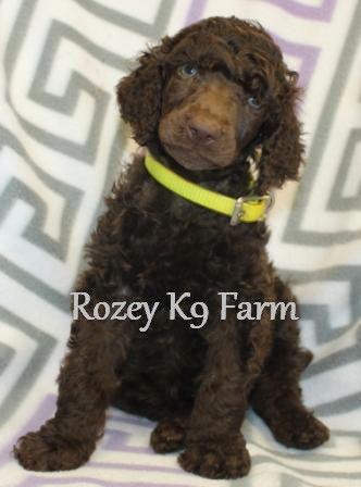 Rozey K9 Farm poodle puppy