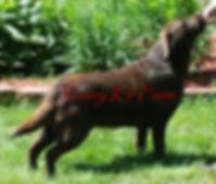 Chocolate english Labrador Retriever
