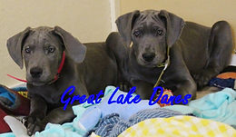Blue Great Dane Puppies for Sale in Ohio
