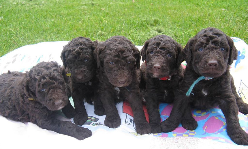 Rozey's K9 Farm puppies for sale