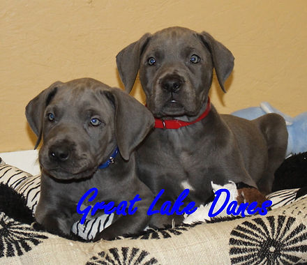 great dane puppy breeder