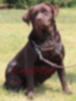 Rozey K9 Farm| Chocolate Labrador Rtriever| English